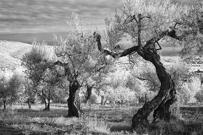 Dancing Olive by Robin Davis